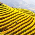 rice terrace sapa